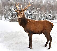 Royal Stance...Wapitis Elk by Poete100