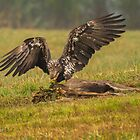 Vancouver Island Bald Eagle by Rose Vanderstap