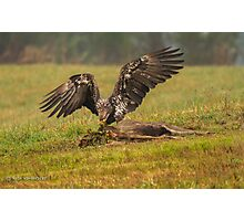 Vancouver Island Bald Eagle Photographic Print