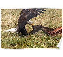 Vancouver Island Bald Eagle Poster