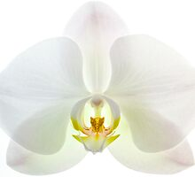 Orchid by John Holding