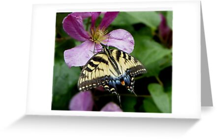 Eastern Tiger Swallowtail by mussermd