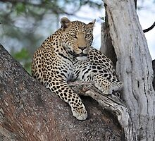 Leopard Botswana Chobe National Park by vawtjwphoto