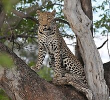 Leopard Chobe National Park Botswana by vawtjwphoto