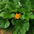 The Biggest and Most Beautiful Pumpkin Leaves I Have Ever Grown by Jane Neill-Hancock