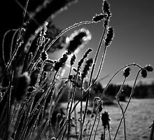 Frost Grass by Alex Ottosson