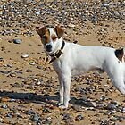 Short Haired Jack Russell on Beach by Kawka