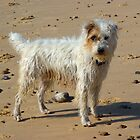 Rough Haired Jack Russell on Beach by Kawka