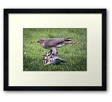 Sparrow Hawk on kill Framed Print