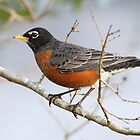 American Robin Closeup by Carol Bailey White