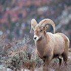 Red Canyon Ram 2 by Kim Barton