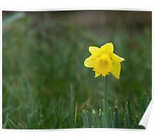 Daffodil with space for text Poster