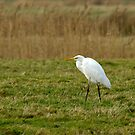 Great White Egret by Sue Robinson