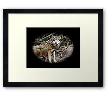 Canis Lupus 003 Framed Print