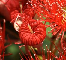 Red Eucalyptus flowers Sticker