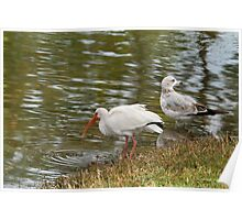 Ibis and Seagull Hanging Poster