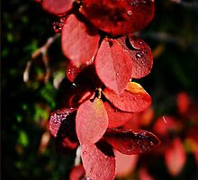 Red leaves by Lina Ottosson