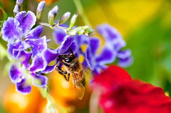 Bee Amongst the Colour by jayneeldred