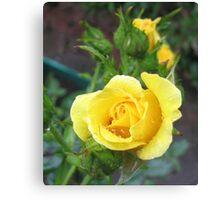 Tender Rose Canvas Print