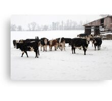 Cattle on a Snowy Day Canvas Print