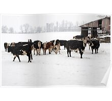 Cattle on a Snowy Day Poster