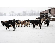 Cattle on a Snowy Day Photographic Print