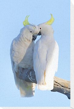 Sulphur Crested Cockatoo by Donovan wilson