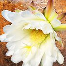 Cactus Flower by Ivana Redwine