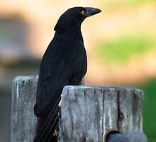 Currawong  by Margaret Stanton