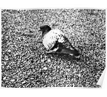 Japanese Pigeon on Asphalt Poster