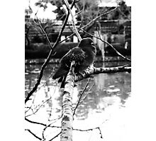 Black and White Pigeon in Japan Photographic Print