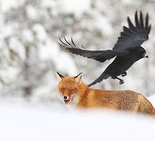 Red Fox, Vulpes vulpes  by Remo Savisaar