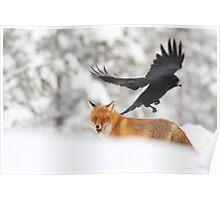 Red Fox, Vulpes vulpes  Poster