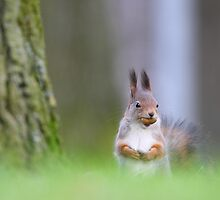 Red squirrel with acorn by Remo Savisaar