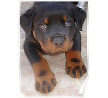 Young Male Rottweiler Making Eye Contact Poster