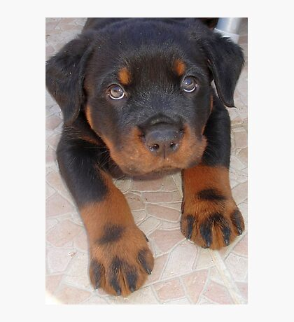 Young Male Rottweiler Making Eye Contact Photographic Print