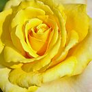 tea rose by Penny Rinker