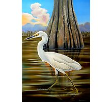 Snowy Egret and Cypress Tree Photographic Print