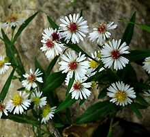 Calico Aster By A Boulder by Deb Fedeler