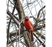 Cardinal in Spring Photographic Print