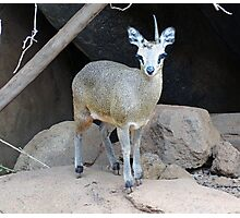 Klipspringer  Photographic Print