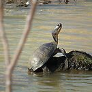 Large Turtle Wary On A Rock by Deb Fedeler