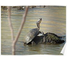 Large Turtle Wary On A Rock Poster