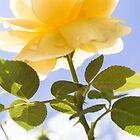 Yellow rose  by lolita50