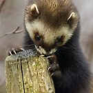 polecat  by Brett Watson Stand By Me  Ethiopia