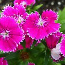 Summer Dianthus by MaryinMaine