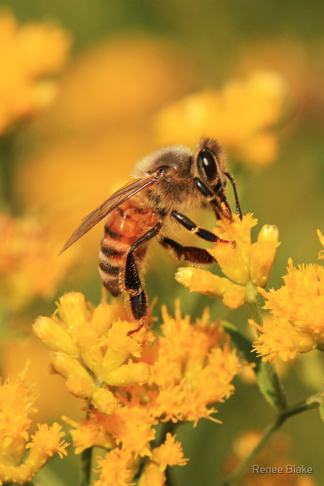 Honeybee On Goldenrod ~ by Renee Blake