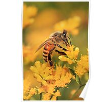 Honeybee On Goldenrod ~ Poster