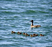 Mama and ducklings,Sparks Nevada USA by Anthony & Nancy  Leake