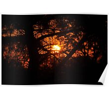 Sunset Through Conifer Poster